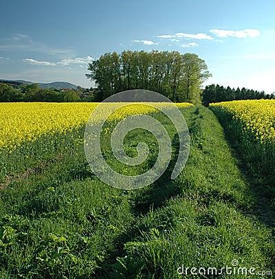 Colza field #04
