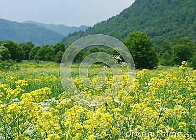 Colza Field
