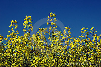 Colza flowers #01