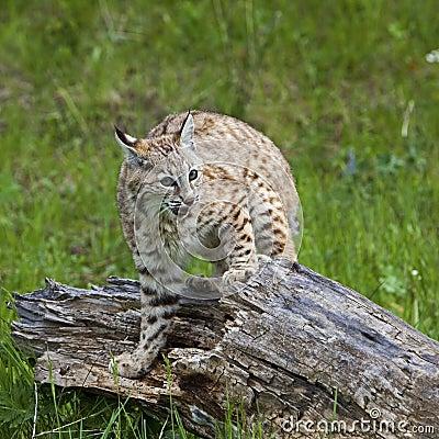Combat de rufus de lynx de chat sauvage