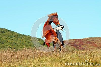 The combat of  horses