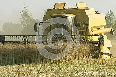 Combine harvester at rape earning