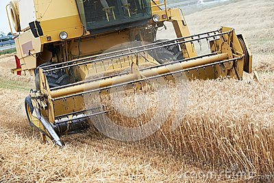 Combine harvesting cereals field