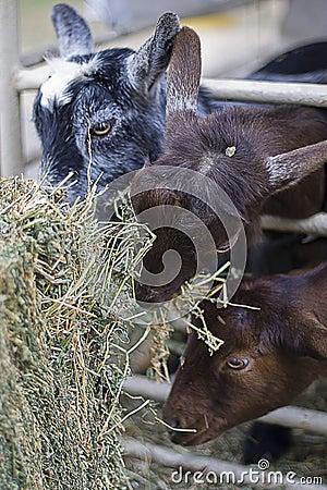 Comer das cabras do bebê