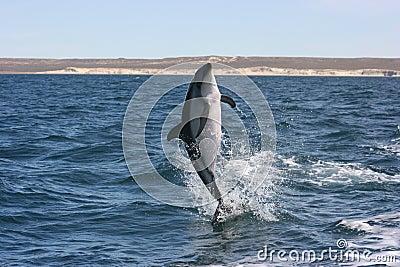 Dusky Dolphin jumps