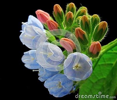 Comfrey flower closeup