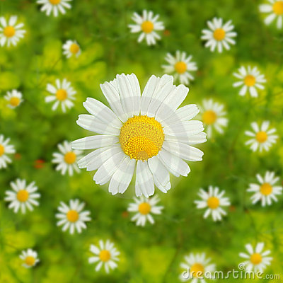 Coming up daisies