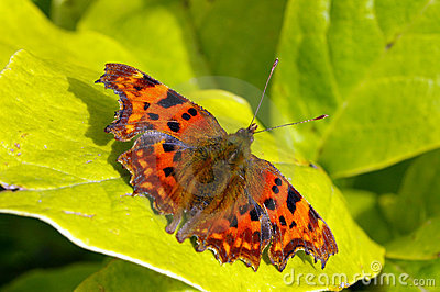 Comma Butterfly 15