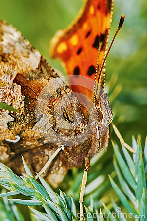 Free Comma Butterfly (Polygonia C-album) Basking In The Sun Stock Image - 73468491