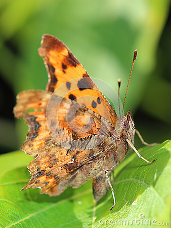 Free Comma Butterfly (Polygonia C-album) Sitting On Leaf Royalty Free Stock Image - 57031406