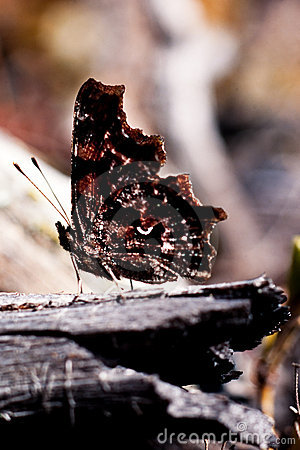 Comma butterfly, Polygonia c-album, underwing