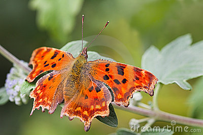 Comma butterfly resting on green leaf