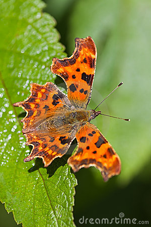 Free Comma Butterfly Resting On Green Leaf Royalty Free Stock Image - 17479196