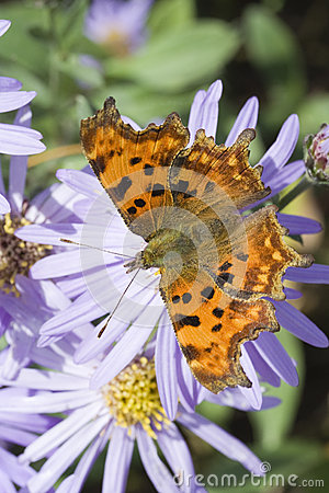 Free Comma (Polygonia C-Album) Butterfly Royalty Free Stock Images - 27275709