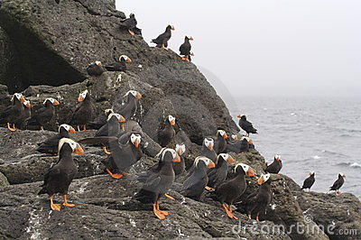 The Commanders Islands.Tufted puffin