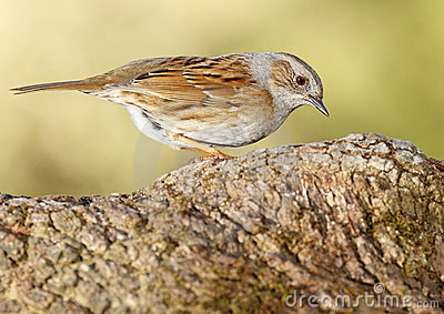 Common Accentor Trunk