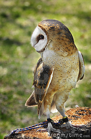Common Barn Owl tethered on perch