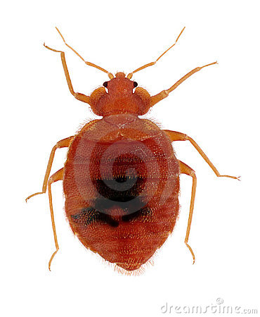Free Common Bed Bug Stock Image - 18502931