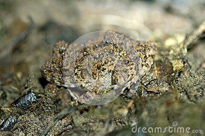 Common Big-headed Frog