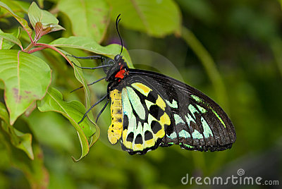 Common Birdwing Butterfly (Troides helena)