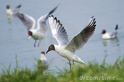 Common Black-headed Gull, Larus ridibundus,