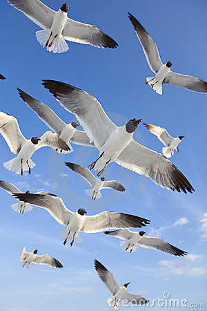 Common Black Headed Sea Gulls Flying In Blue Sky