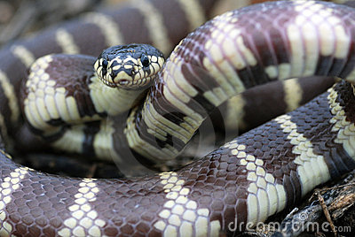 A common, black and white california kingsnake rea