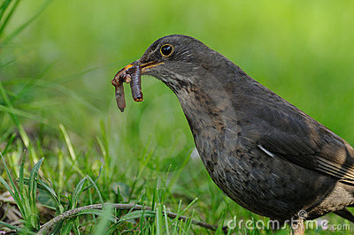 Common Blackbird with a Earthworm