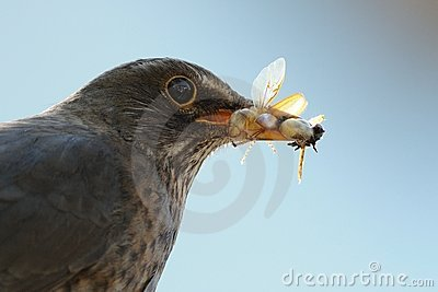 Common Blackbird with Insects