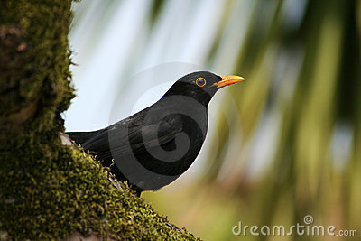 A Common Blackbird (Turdus merula) perched on a moss-covered tre