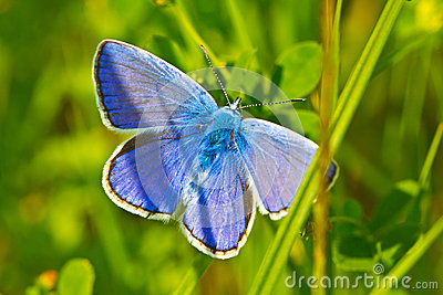 Common blue butterfly in grass
