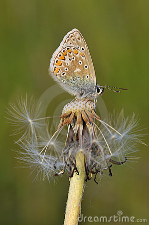 Free Common Blue Butterfly - Polyommatus Icarus Stock Photography - 14872682