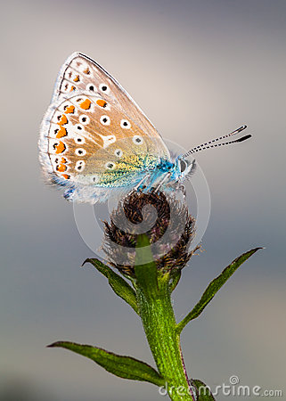 Common Blue Butterfly (Polyommatus Icarus) Royalty Free Stock Photo - Image: 26469955