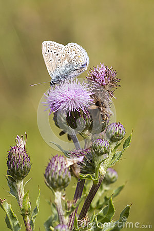 Free Common Blue Butterfly (Polyommatus Icarus) Stock Images - 36912204