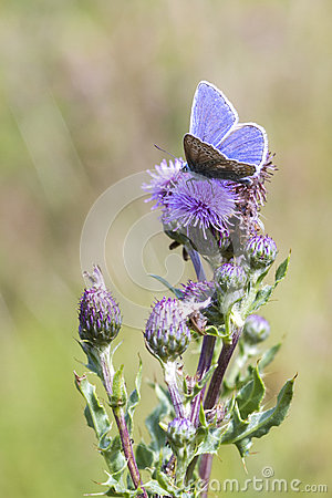 Free Common Blue Butterfly (Polyommatus Icarus) Stock Photos - 36912373