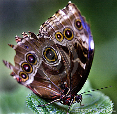 Common Blue Morpho Butterfly Royalty Free Stock Photos - Image: 5676478