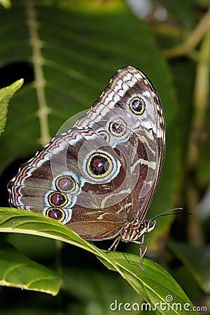 Free Common Blue Morpho, Morpho Peleides Stock Images - 12051014