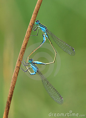 Free Common Blue-tail Damselfly Pair Mating Stock Photo - 8754200