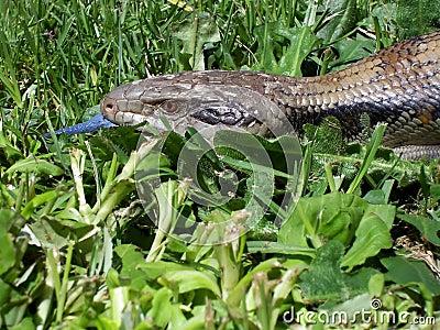 Common Blue Tongue Lizard - Portrait