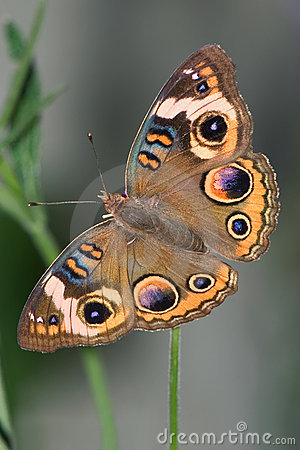 Free Common Buckeye Stock Images - 8188764