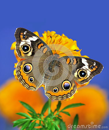 Free Common Buckeye Butterfly (Junonia Coenia) Stock Photography - 26453962