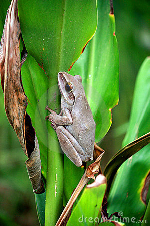 Common Bush Frog