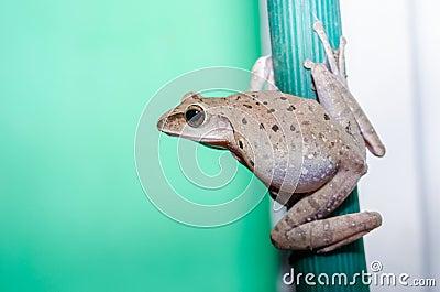 Common Bush Frog