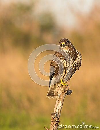 Free Common Buzzard Royalty Free Stock Photo - 29005645
