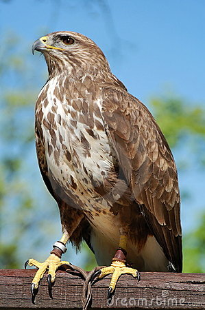Common Buzzard Captured