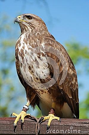 Free Common Buzzard Captured Stock Image - 2265481