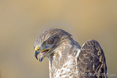 Common Buzzard Close-Up