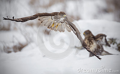 Buzzard fleeing from a fight
