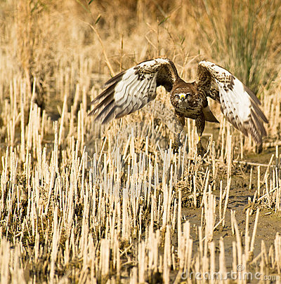 A Common Buzzard taking off