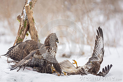 Buzzards fighting